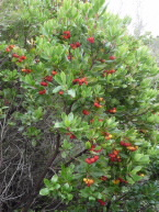 Strawberry trees