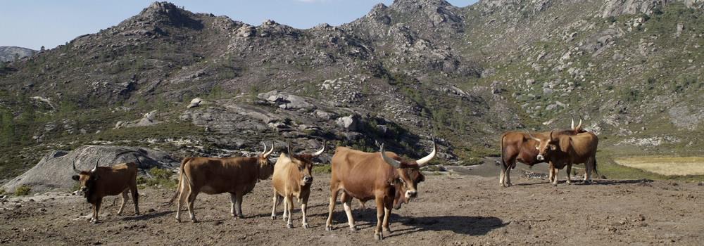 Vacas cachenas na Serra do Xurés