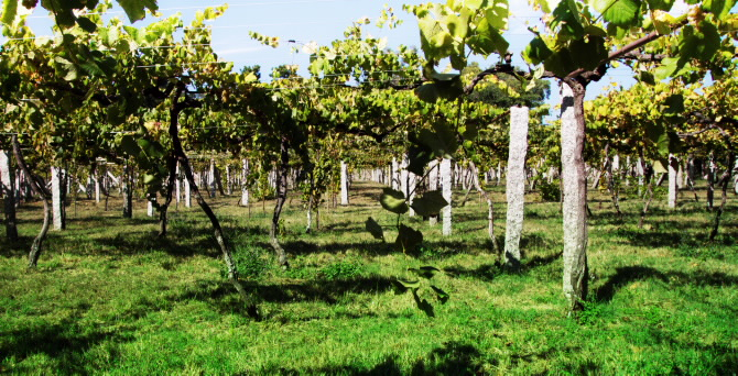 O Salnés vineyards