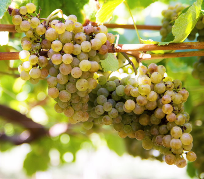 O Salnés vineyard